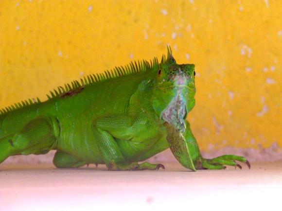 zöldleguán2